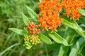Orange flower blossoms Royalty Free Stock Photo