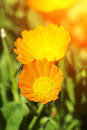 Orange flower of calendula and light from the sun Stock Photos