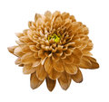 Orange flower chrysanthemum. Flower on white isolated background with clipping path. Closeup. no shadows. Royalty Free Stock Photo