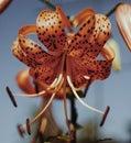 orange flower lily closeup blue sky sunlight Royalty Free Stock Photo