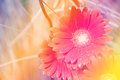 Orange Flower with pastel color gradient background Royalty Free Stock Photo