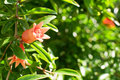 Orange flower of pomegranate Royalty Free Stock Photo
