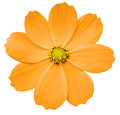 Orange flower Primula. white isolated background with clipping path. Closeup. no shadows. yellow center. Royalty Free Stock Photo