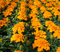 Orange flowering tagetes plants in a plant closeup of rows of budding and blooming or marigold greenery Royalty Free Stock Photos