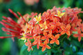 Orange flowers (Asoka, Saraca Asoca ) Royalty Free Stock Photo