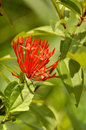 Orange flowers (Asoka, Saraca Asoca ) Royalty Free Stock Image