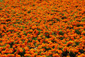 Orange flowers background Stock Images