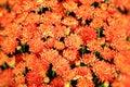 Orange Chrysanthemum flowers background Royalty Free Stock Photo