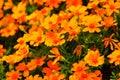 Orange Flowers In The Garden. ...