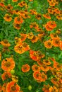Orange flowers of perennial plants in the garden