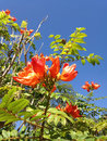 Orange flowers on the tree under the blue sky. Royalty Free Stock Photo