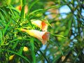 Orange flowers Yellow Oleander flower, Lucky Nut flower on tree. Royalty Free Stock Photo