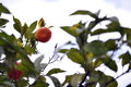 Orange Fruit On Orange Tree