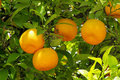 Orange fruit on tree Stock Image