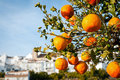 Orange fruit on tree Royalty Free Stock Image