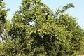 Orange fruit  tree, agar madhya pradesh, india. Royalty Free Stock Photo