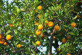 Orange fruit tree with oranges Royalty Free Stock Image
