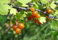 Orange fruits of jostaberry Royalty Free Stock Photo