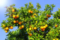 Orange fruits on tree Stock Photo