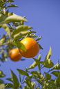Orange fruits on the tree Stock Image