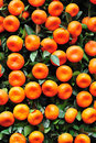 Orange fruits on tree Royalty Free Stock Photo