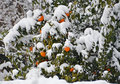 Orange fruits under the snow Royalty Free Stock Images