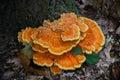 Orange fungi fungus at the base of a tree Royalty Free Stock Photo