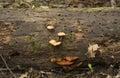 Orange fungi on a log Royalty Free Stock Photo