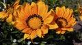 Orange gazania flowers Royalty Free Stock Photo