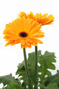 Orange gerber daisies on white Stock Images