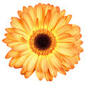 Orange gerber flower isolated on white Royalty Free Stock Photo