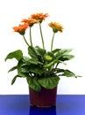 Orange gerbera Royalty Free Stock Photo