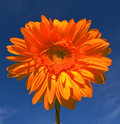 Orange gerbera on blue sky Stock Photos