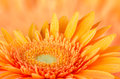 Orange gerbera daisy Royalty Free Stock Photo