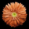 Orange  gerbera flower on the black isolated background with clipping path.   Closeup.  no shadows.  For design. Royalty Free Stock Photo