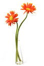 Orange gerbera flower in a clear vase on white background Royalty Free Stock Photos