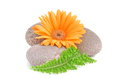 Orange gerbera flower and green leaf on stones on white background Royalty Free Stock Images