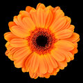 Orange gerbera flower isolated on black with center macro of background Stock Photos