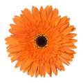 Orange gerbera flower isolated on white background Royalty Free Stock Photo