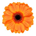 Orange gerbera flower isolated on white with black center macro of background Royalty Free Stock Photography