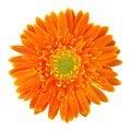 Orange gerbera flower isolated on white Royalty Free Stock Photo