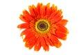 Orange gerbera flower Royalty Free Stock Photo