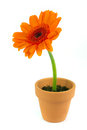 Orange gerbera flower in a terracotta pot