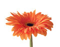 Orange gerbera isolated on white background Stock Photo