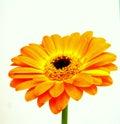 Orange gerbera a to white reason Royalty Free Stock Images