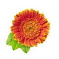 Orange gerberas daisy with three leaves isolated on a white background Stock Image
