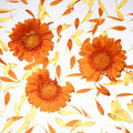 Orange gerberas with petals Royalty Free Stock Photography