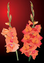 Orange gladiolus flowers on dark background Royalty Free Stock Image