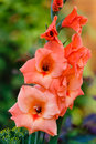 Orange gladiolus growing in a garden Royalty Free Stock Image