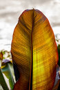 Orange green huge leaf Royalty Free Stock Photo